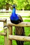 Pawi obsiadanie na ogrodzeniu Obraz Royalty Free