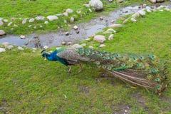 Pawi odprowadzenie Na Zielonej trawie W wczesnym poranku zdjęcie royalty free