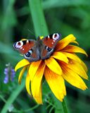 Pawi oko motyl siedzi na żółtym kwiacie nad plamy zieleni tło na letnim dniu Obraz Stock