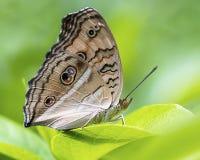 Pawi pancy motyl: Odpoczywać na liściu fotografia royalty free