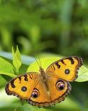 Pawi pancy motyl: Odpoczywać na liściu zdjęcia stock