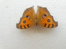 Pawi Pansy motyl Zdjęcia Royalty Free