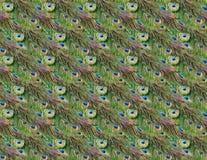 Pawi piórka Zdjęcie Stock