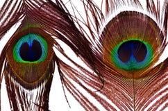 Pawi piórka Zdjęcie Royalty Free