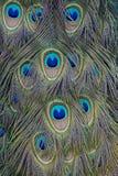 Pawi piórka Fotografia Royalty Free