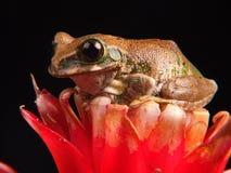Pawia drzewna żaba Obraz Stock
