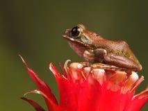 Pawia drzewna żaba Fotografia Stock