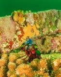 Pawia modliszki garnela pokazuje daleko w ponurości Obraz Stock