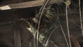 Pawia Piórko Wiatr rozwija pawiego piórko zbiory