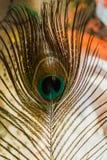 Pawia piórkowy makro- Obrazy Stock