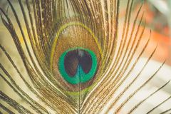 Pawia piórkowy makro- Obrazy Royalty Free