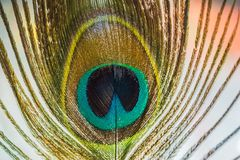 Pawia piórkowy makro- Zdjęcia Royalty Free