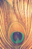 Pawia piórkowy makro- Obraz Stock