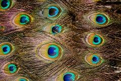 Pawia piórkowy makro- Fotografia Royalty Free