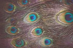 Pawia Piórkowy Makro- Retro Fotografia Stock