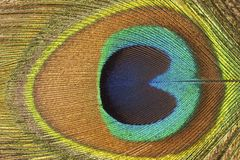 Pawia Pi?rko obraz royalty free