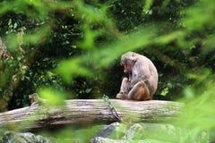 Pawian małpa Zdjęcie Stock