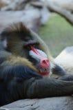 Pawian odpoczywa na skale Zdjęcie Royalty Free