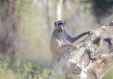 Pawian & x28; Papio ursinus& x29; Siedzieć na Gorączkowym drzewie w Południowa Afryka Zdjęcia Royalty Free