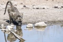 Pawian & x28; Papio ursinus& x29; Woda Pitna Południowa Afryka Obrazy Stock