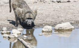 Pawian & x28; Papio ursinus& x29; Woda Pitna Południowa Afryka Zdjęcie Royalty Free