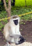 Pawian siedzi patrzeć Obraz Royalty Free