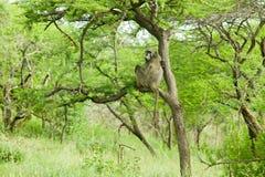 Pawian w drzewie w Umfolozi gry rezerwie, Południowa Afryka, ustanawiający w 1897 Zdjęcie Royalty Free