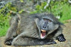 Pawian wystawia z rodziny psów zęby z otwartym usta Chacma pawian Fotografia Stock