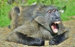 Pawian wystawia z rodziny psów zęby z otwartym usta Chacma pawian Obraz Stock