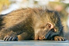 Pawianu lying on the beach z przykrością małpi spojrzenia przy fotografem Obrazy Stock