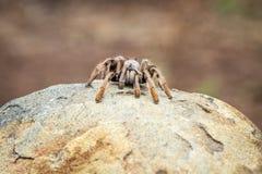Pawianu pająk na skale Obraz Stock
