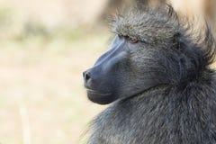 Pawianu portret Południowa Afryka obraz stock