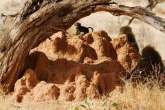 Pawiany na termitu kopu Obrazy Royalty Free