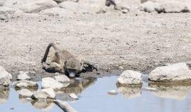 Pawiany & x28; Papio ursinus& x29; Woda Pitna w Afryka Fotografia Stock