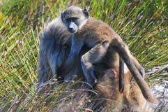Pawiany - przylądek Dobra nadzieja - Południowa Afryka Fotografia Royalty Free