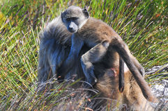 Pawiany - przylądek Dobra nadzieja - Południowa Afryka Fotografia Stock