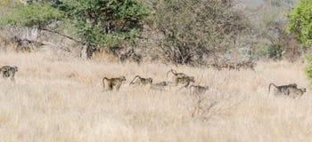 Pawiany w Kruger parku Południowa Afryka Fotografia Stock