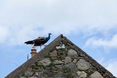 Pawica na dachu Zdjęcia Stock