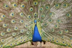 pawie indyjski Obraz Royalty Free