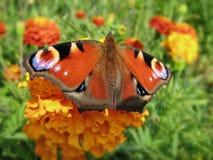 Pawiego motyla europejczyk Aglais io Zdjęcie Royalty Free