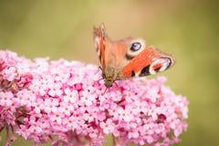 Pawiego motyla lub aglais io obsiadanie na kwiacie Obraz Stock