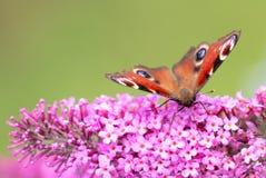 Pawiego motyla lub aglais io obsiadanie na kwiacie Obrazy Royalty Free