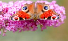 Pawiego motyla lub aglais io obsiadanie na kwiacie Zdjęcia Royalty Free