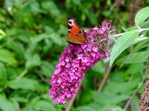 Pawiego motyla obsiadanie na bzie Obrazy Royalty Free