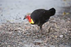 pawing澳大利亚灌木的火鸡 免版税库存照片