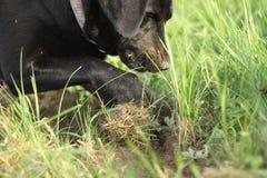 Pawing Apportierhund Stockbild