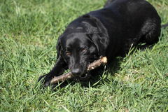 Pawing retriever Royalty Free Stock Images