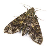 Pawpaw Sphinx moth Stock Photo