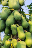 Pawpaw Tree Royalty Free Stock Photo