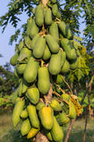 Pawpaw Tree Royalty Free Stock Photos